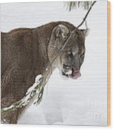 Mountain Lion In A Snow Covered Pine Forest Wood Print