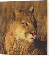 Mountain Lion Montana Wood Print