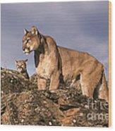 Mountain Lions Felis Concolor Wood Print