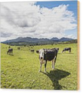 Mourne Cows Wood Print