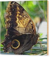 Mournful Owl Butterfly In Sunlight Wood Print