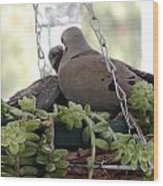 Mourning Dove Feeding Baby Dove Wood Print