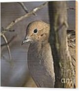 Mourning Dove Pictures 39 Wood Print