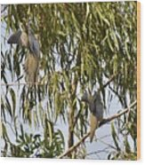 Mourning Doves Landing In Eucalyptus  Wood Print