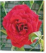 Mr Lincoln Rose Wood Print