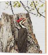 Mr.pileated Poses Wood Print