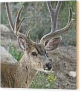 Mule Deer Buck In Velvet Wood Print