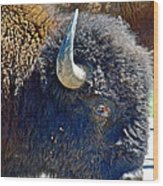 Multi-color-eyed Bison Near Wildlife Loop Road In Custer State Park-south Dakota Wood Print