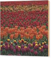 Multi-colored Tulip Fields  Wood Print
