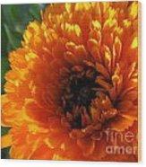 Multi Petals African Daisy Wood Print