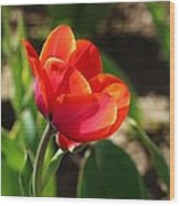 Multicolored Tulip Wood Print