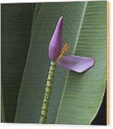 Musa Ornata - Pink Ornamental Banana Flower - Kepaniwai Maui Hawaii  Wood Print
