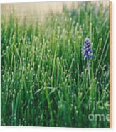 Muscari Or Grape Hyacinth Wood Print