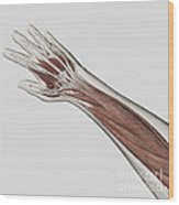 Muscle Anatomy Of Human Arm And Hand Wood Print