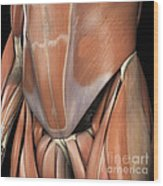 Muscles Of The Lower Abdomen Wood Print