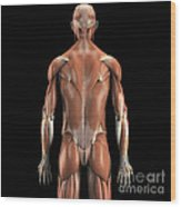 Muscles Of The Upper Body Rear Wood Print