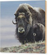 Musk Ox With Calf Wood Print
