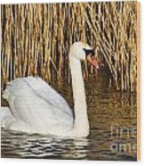 Mute Swan By Reed Beds Wood Print