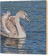 Mute Swan Cygnet Wood Print