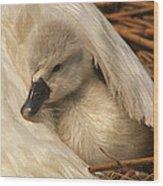 Mute Swan Cygnet Under Wing Wood Print