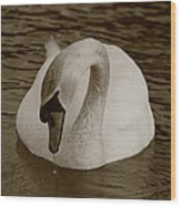 Mute Swan - In Sepia Wood Print