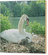 Mute Swan Parent And Chicks On Nest Wood Print by Konrad Wothe