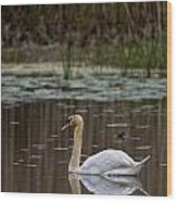 Mute Swan Pictures 143 Wood Print