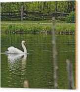 Mute Swan Pictures 195 Wood Print