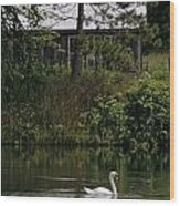 Mute Swan Pictures 199 Wood Print