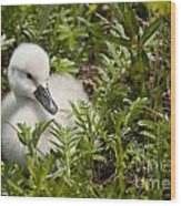 Mute Swan Pictures 210 Wood Print