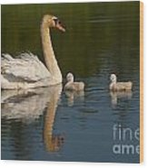 Mute Swan Pictures 244 Wood Print