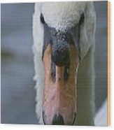 Mute Swan Pictures 88 Wood Print