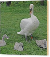 Mute Swan With Cygnets Wood Print
