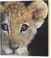 My Grandma What Big Eyes You Have African Lion Cub Wildlife Rescue Wood Print
