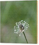 Naked Dandelion Wood Print