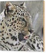 Naples Zoo - Leopard Relaxing 1 Wood Print