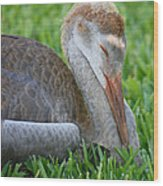 Napping Sandhill Baby Wood Print