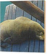 Napping Sea Lion Wood Print
