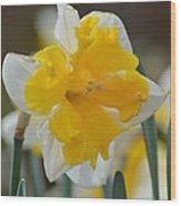 Narcissus 014-2 Wood Print