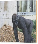 National Zoo - Gorilla - 121242 Wood Print by DC Photographer