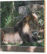 National Zoo - Lion - 011317 Wood Print by DC Photographer