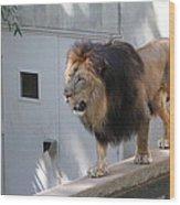 National Zoo - Lion - 01138 Wood Print