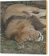 National Zoo - Lion - 12121 Wood Print