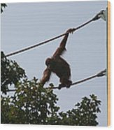 National Zoo - Orangutan - 12122 Wood Print by DC Photographer