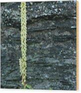Navelwort And Maidenhair Spleenwort Wood Print