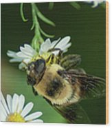 Nectar Collecting Drone Fly  Wood Print