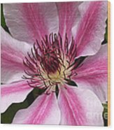 Nelly Moser Clematis Close Up Wood Print
