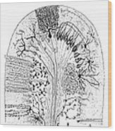 Nerve Cells, 1894 Wood Print