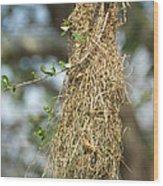 Nest Of Altamira Oriole Icterus Gularis Wood Print