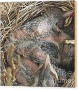 Nest Of American Robins Wood Print